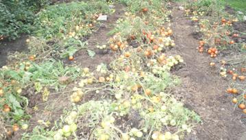 Урожай был такой. что все использовать не смогли. Это остатки, для цыплят.
