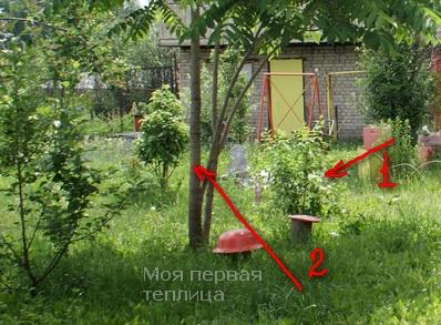 1 - чубушник, 2 - маньчжурский орех. Рядом с ними яблоньки. Плохое соседство.
