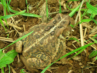 Биологический способ борьбы. Давайте создавать водоемы для жаб и лягушек.