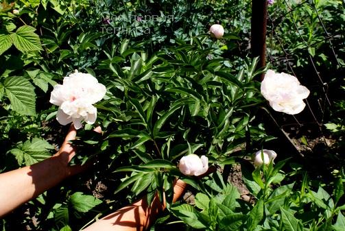 Примите из рук моих цветы!