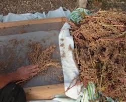 Так собирают семена. Из них после обмолота можно варить кашу.