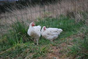 Домашнее выращивание куриц.