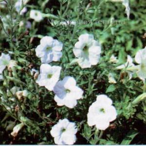 """Петуния из Каталога Сорта цветочных культур"""" 1996 г.в."""