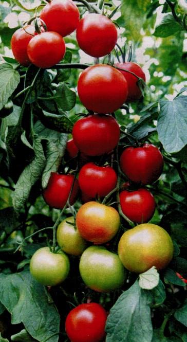 teplichnye sorta pomidor