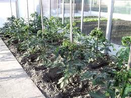 raznovidnosti pomidor