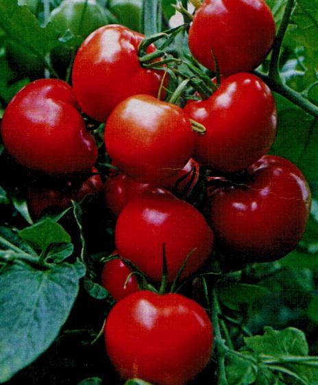 pomidory dlja otkrytogo grunta