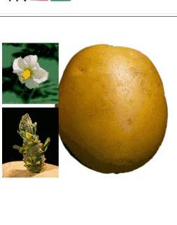 Картофель сорта Каратоп.