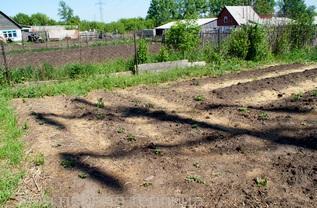 Грядки с первыми ростками картофеля.