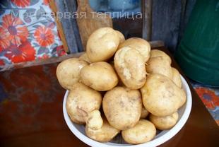 Крупный картофель из одного гнезда. Лето было с засухой.
