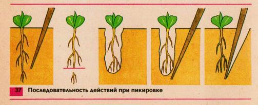 Хорошо показано, как уродуют растение, обрывая корень.