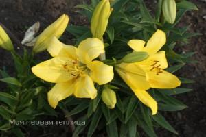 lilii v sadu