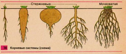 Виды или типы корней.