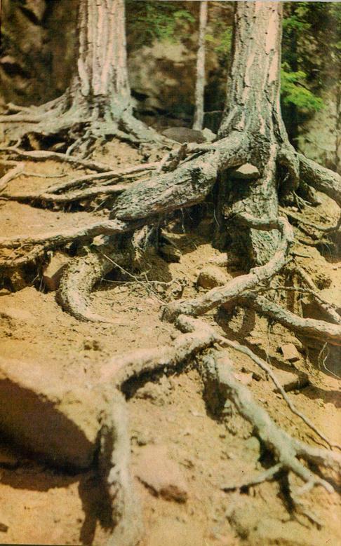 Мощные корни дерева.