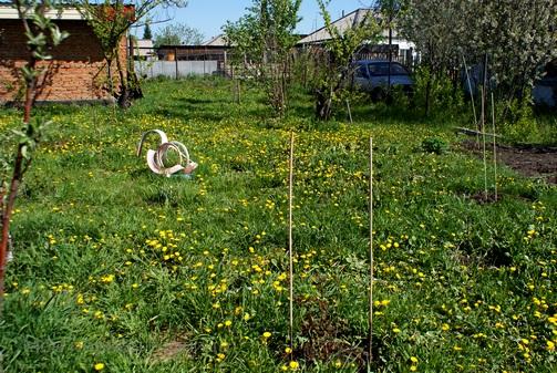 Поле одуванчиков в моем молодом саду.