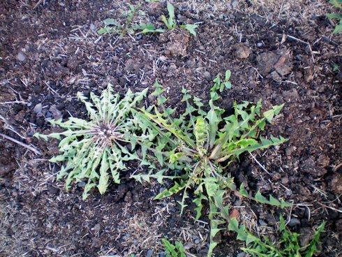 У нормального одуванчика одна розетка. Есди растение врезали, то у него нарастает много розеток.