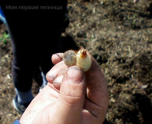 Такие личинки в травяном навозе тоже живут.