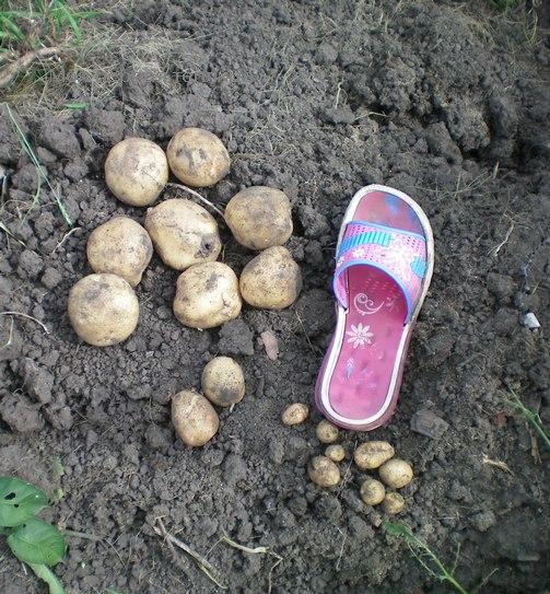 uborka kartofelja
