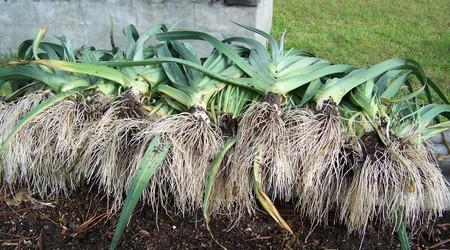 Эти растения приготовлены для хранения, они одинакового размера.